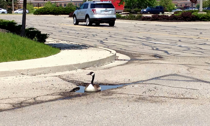 Canadian goose on road