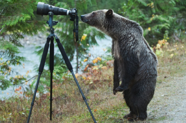 Grizzly bear with a photo camera